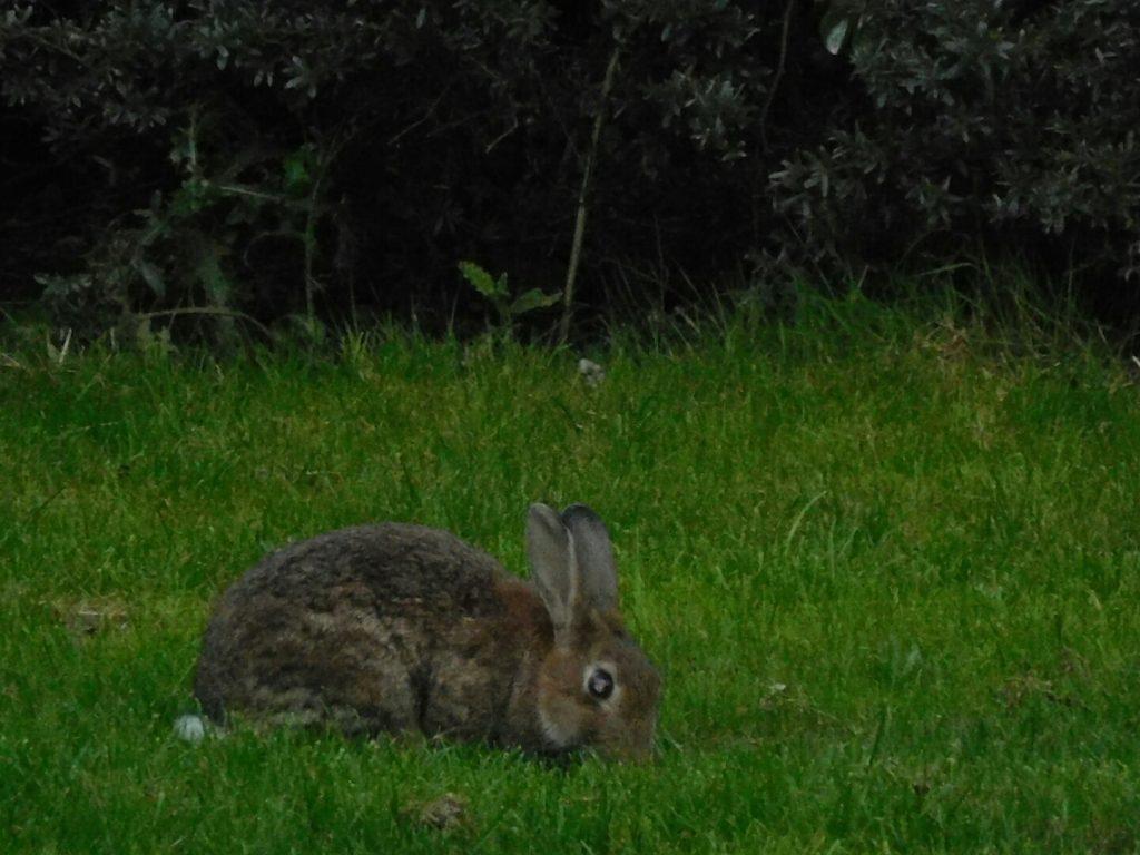 Bunnies of Canterbury